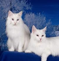 Maine Coon Cats, America's