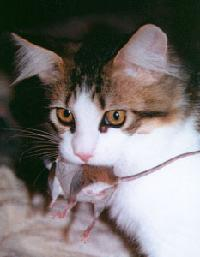 Brwon Tabby & White Maine Coon Cat Poly with a real mouse