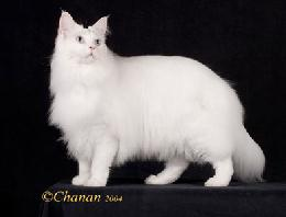 Blue eyed white Maine Coon Cat